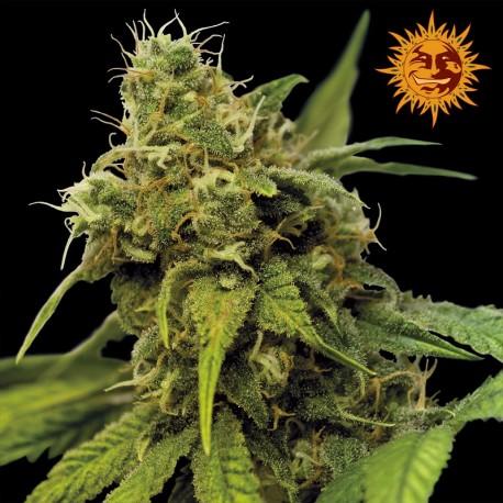 buy cannabis seeds Utopia Haze