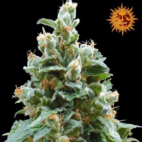 buy cannabis seeds Vanilla Kush