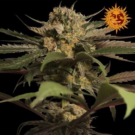 buy cannabis seeds Violator Kush