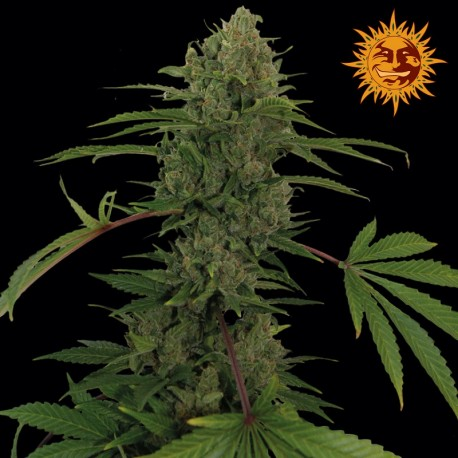 buy cannabis seeds Critical Kush Auto