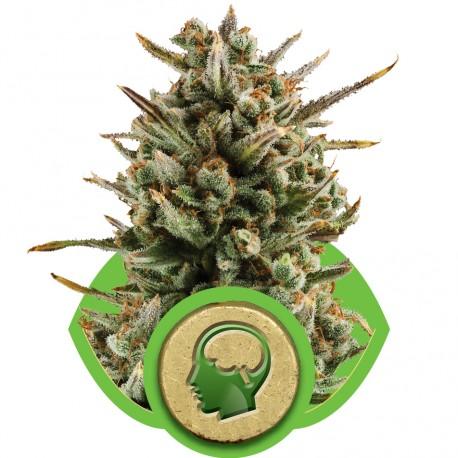 buy cannabis seeds Amnesia Haze Automatic