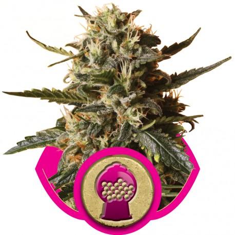 buy cannabis seeds Bubble Gum XL