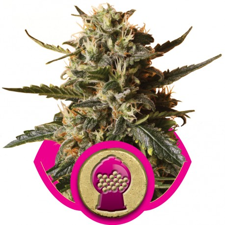 buy cannabis seeds Bubble Gum XL