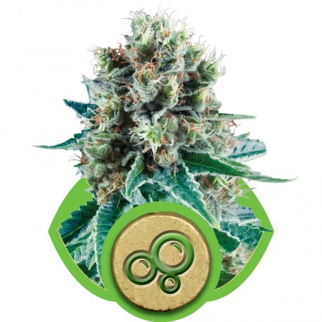 buy cannabis seeds Bubble Kush Automatic