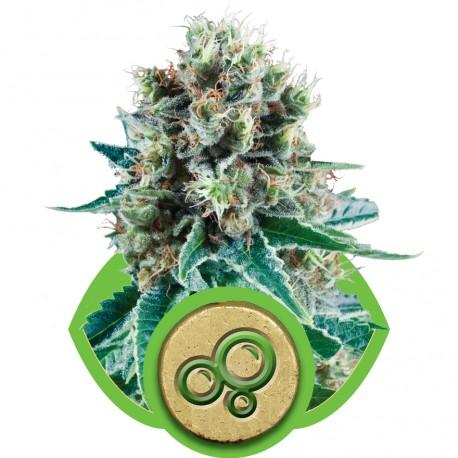 buy cannabis seeds Bubble Kush Automatic