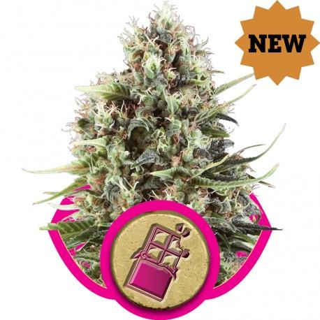 buy cannabis seeds Chocolate Haze