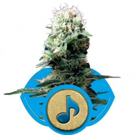 buy cannabis seeds Dance World