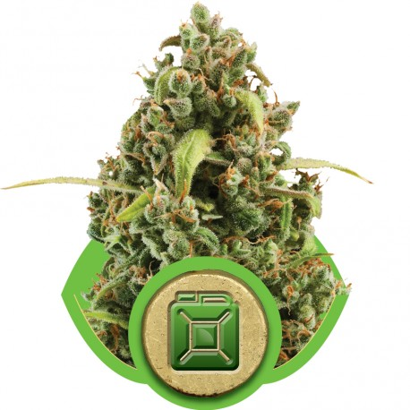 buy cannabis seeds Diesel Automatic