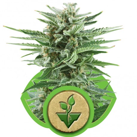 buy cannabis seeds Easy Bud