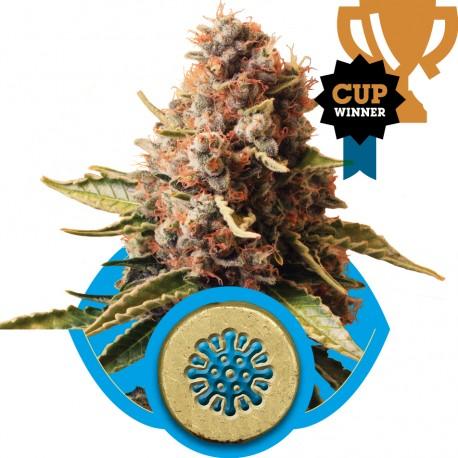 buy cannabis seeds Euphoria