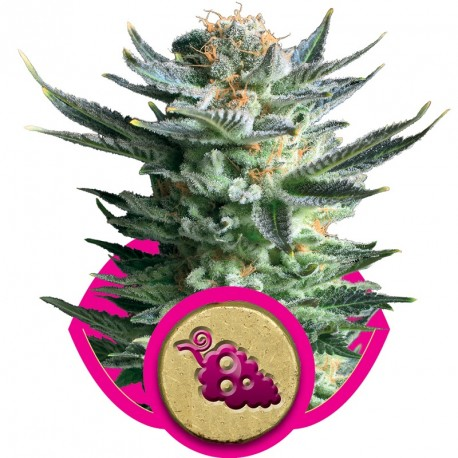 buy cannabis seeds Fruit Spirit