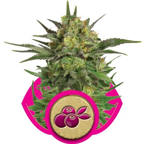 buy cannabis seeds Haze Berry