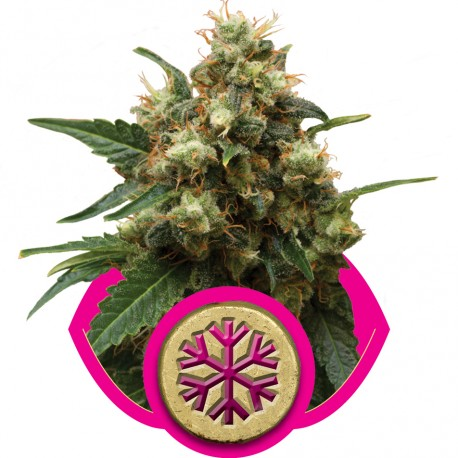 buy cannabis seeds Ice