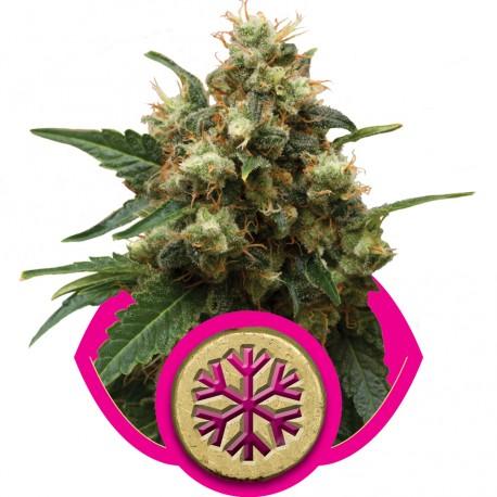 buy cannabis seeds Ice