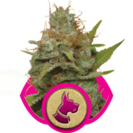 buy cannabis seeds Kali Dog