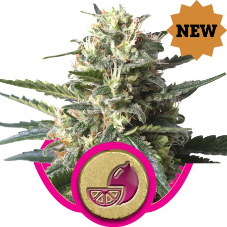 buy cannabis seeds Lemon Haze