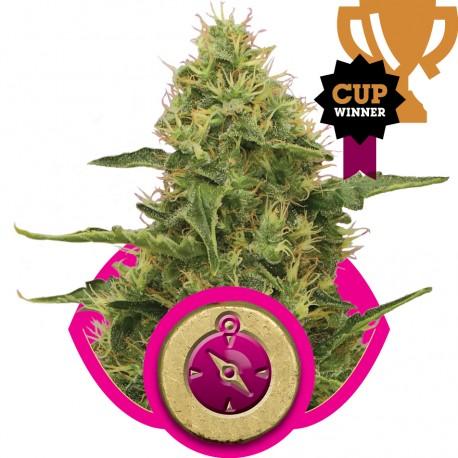 buy cannabis seeds Northern Light