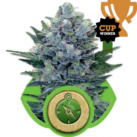 buy cannabis seeds Northern Light Automatic