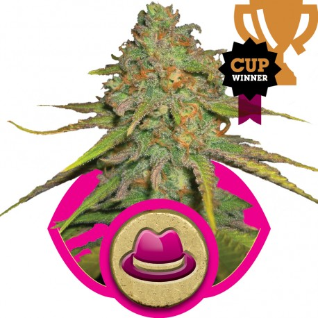 buy cannabis seeds O.G Kush