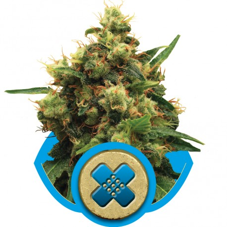 buy cannabis seeds Painkiller XL