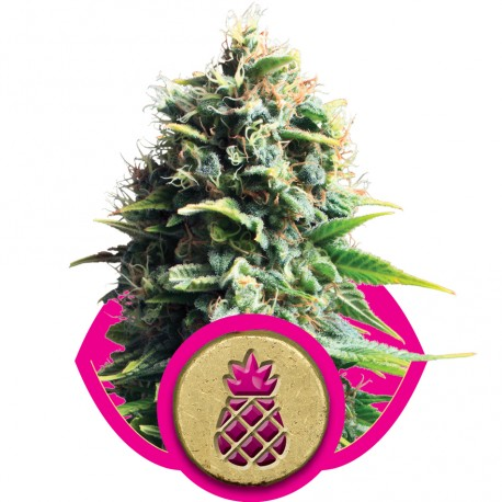 buy cannabis seeds Pineapple Kush