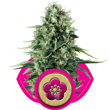 buy cannabis seeds Power Flower
