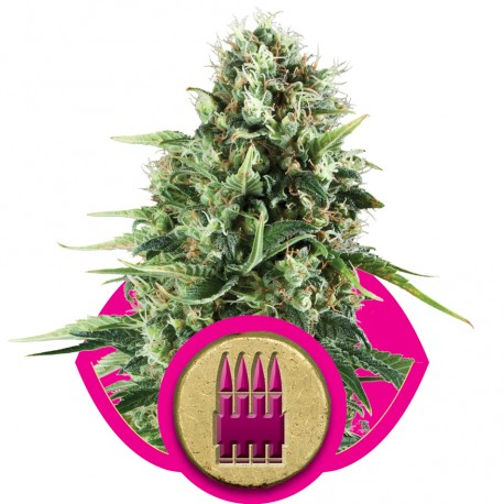 buy cannabis seeds Royal AK