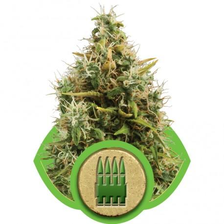 buy cannabis seeds Royal AK Automatic