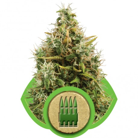 buy cannabis seeds Royal AK Automatic