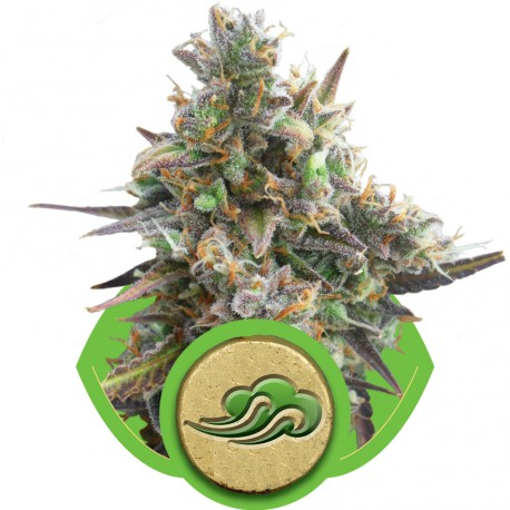 buy cannabis seeds Royal Bluematic