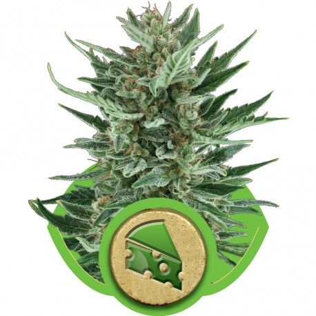 buy cannabis seeds Royal Cheese Automatic