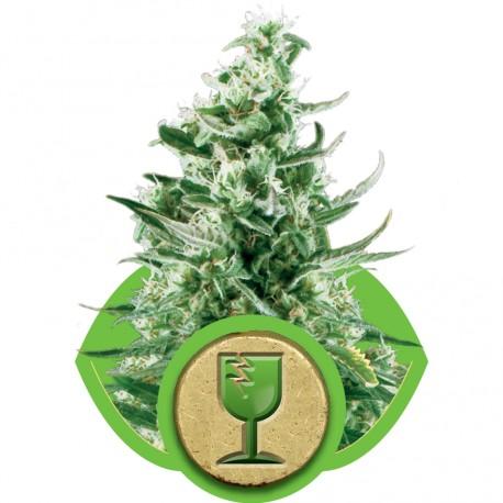 buy cannabis seeds Royal Critical Automatic