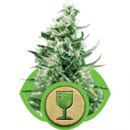buy cannabis seeds Royal Critical Automatic