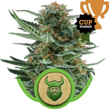 buy cannabis seeds Royal Dwarf