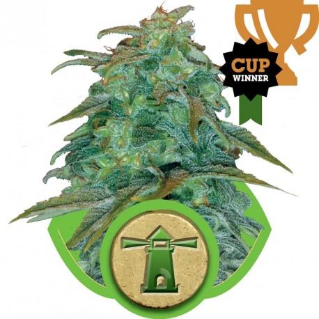 buy cannabis seeds Royal Haze Automatic