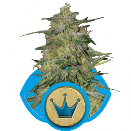 buy cannabis seeds Royal Highness