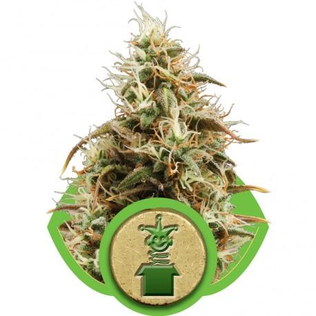 buy cannabis seeds Royal Jack Automatic