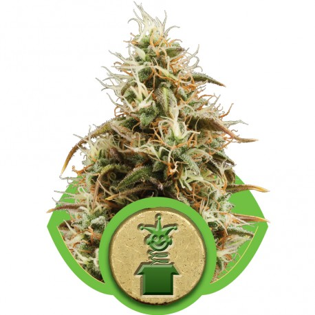 buy cannabis seeds Royal Jack Automatic