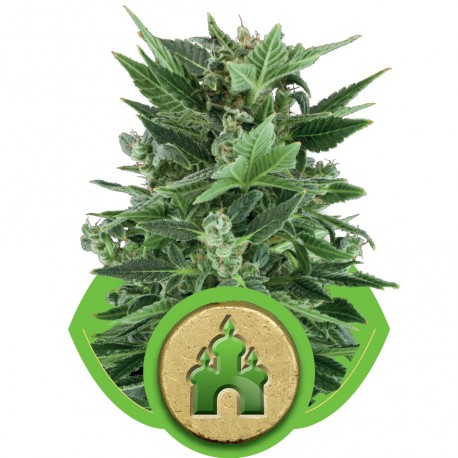 buy cannabis seeds Royal Kush Automatic