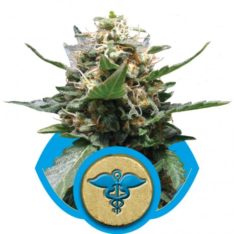 buy cannabis seeds Royal Medic