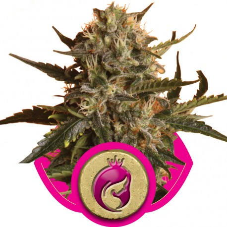 buy cannabis seeds Royal Madre