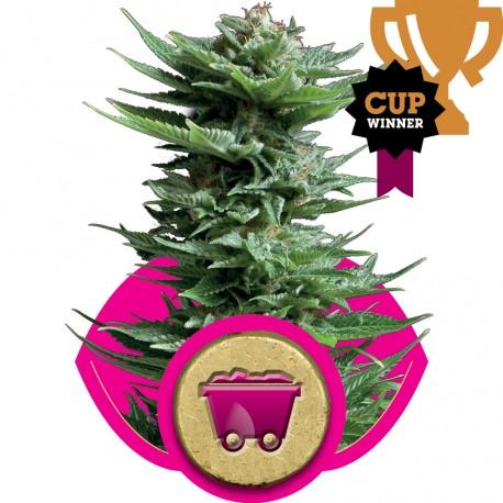 buy cannabis seeds Shining Silver Haze