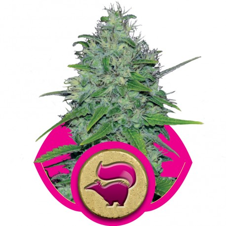 buy cannabis seeds Skunk XL