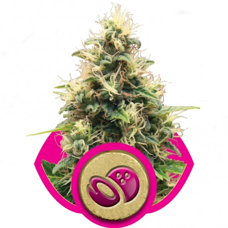 buy cannabis seeds Somango XL