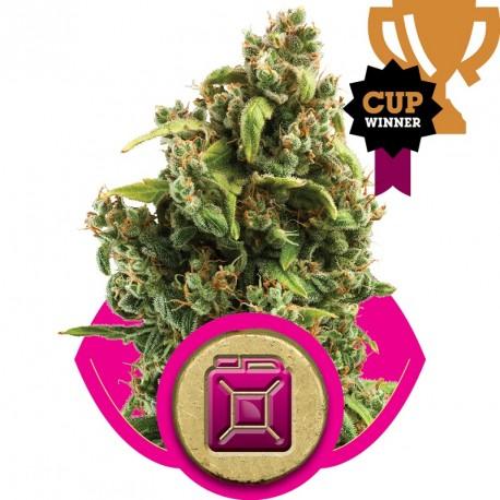 buy cannabis seeds Sour Diesel