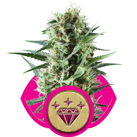 buy cannabis seeds Special Kush #1