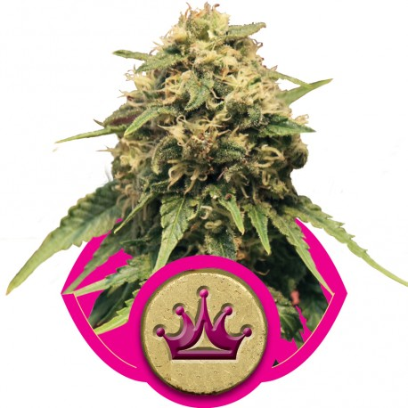 buy cannabis seeds Special Queen #1