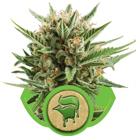buy cannabis seeds Sweet Skunk Automatic