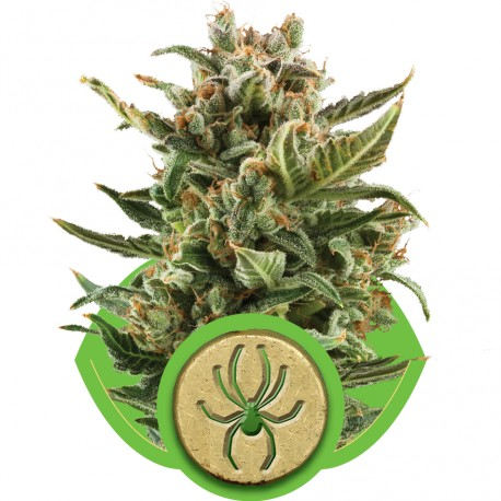 buy cannabis seeds White Widow Automatic