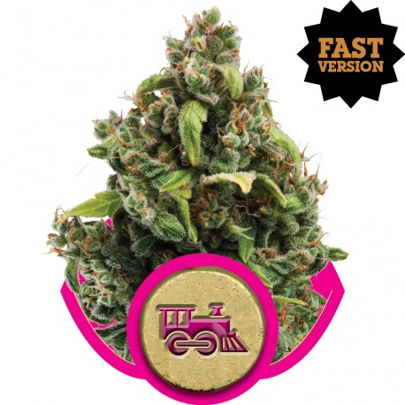 buy cannabis seeds Candy Kush Express Fast V